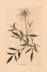 Clematis angustifolia Virgin's bower
