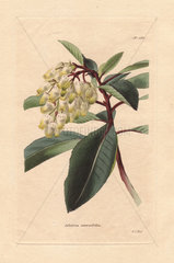 Arbutus serratifolia Greek strawberry tree