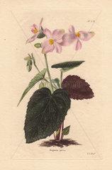 Begonia picta Pale pink begonia