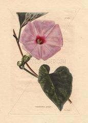 Convolvulus jalapa Pink bindweed