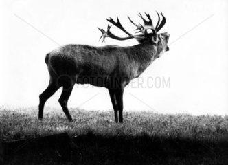 roehrender Hirsch im Profil
