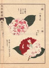 Scarlet and white camellias Yahemomiji and Kagazome Thea japonica Nois flore semipleno forma