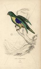 Cape parrakeet  Psittacus capensis