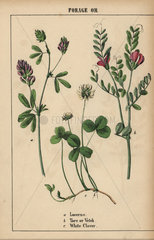 Forage or field plants
