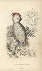 Rose-crested cockatoo  Psittacus moluccensis