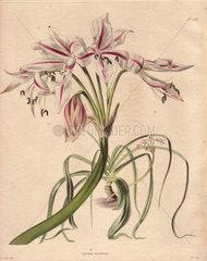 Crinum scabrum Pale pink crinum