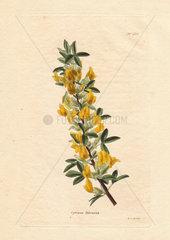Cytisus falcatus Yellow broom