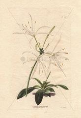 Pancratium ovatum White pancratium amaryllis