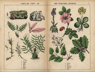 Tabular view of the Vegetable Kingdom