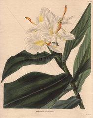 Hedychium coronarium White gingerlily