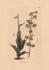 Epipactis latifolia Helleborine