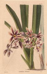Cymbidium aloifolium Cymbidium orchid