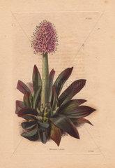 Helonias bullata Swamp pink