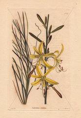 Asphodelus creticus Yellow asphodelus lily
