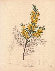 Bossiaea linophylla Golden cascade