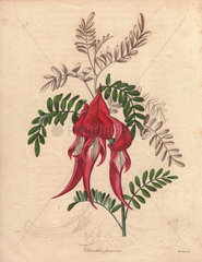 Clianthus puniceus Lobster claw