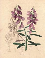 Polygala speciosa Showy milkwort