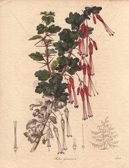 Ribes speciosum California fuchsia