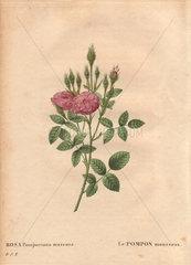 Dusty pink Mossy de Meaux rose Rosa Pomponiana muscosa  Le Pompon mousseux