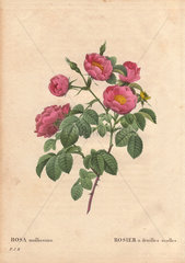 Double soft-leaved rose with deep pink blooms (Rosa mollissima flore submultiplici).