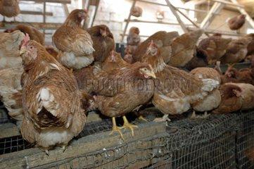 Biologische Huehnerhaltung/Organic poultry-faming/Aviculture écologique