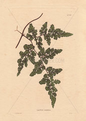 Lygodium scandens Climbing fern