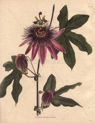 Passiflora caeruleo racemosa Passionflower hybrid
