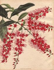 Combretum purpureum Bushwillow