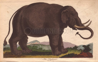 Elephant (Elephas maximus)