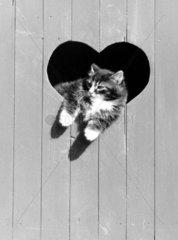 Katze lehnt aus Herzchen