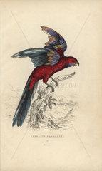 Pennant's parrakeet  Psittacus pennantii