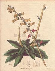 Echeveria racemosa Racemose-flowered echeveria