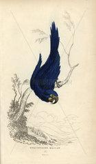 Hyacinthine maccaw  Psittacus hyacinthinus
