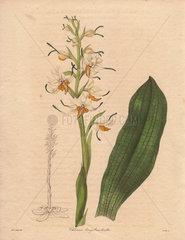 Chloraea longibracteata Long-bracted chloraea orchid
