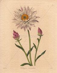 Helichrysum macranthum Strawflower