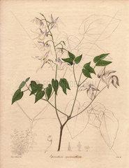 Epimedium macranthum Horny goat weed herb