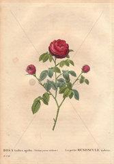 La Petite Renoncule rose with crimson and purple blooms (Rosa gallica agatha) La petite Renoncule violette