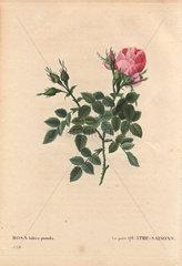 Dwarf four seasons rose with large pink bloom (Rosa bifera pumila). Le petite Quatre-Saisons.