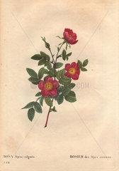 Common alpine rose with crimson flowers (Rosa alpina vulgaris). Rosier des Alpes commun.