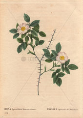Spiny leaved rose of Dematra with white and yellow flowers (Rosa spinulifolia dematratiana). Rosier Spinule_L de Dematra.