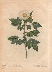 Leschenault's rose with white flowers (Rosa sempervirens Leschenaultiana). Le rosier Leschenault.