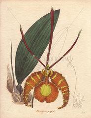 Psychopsis papilio (Oncidium papilio) Butterfly orchid