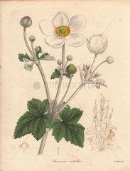 Anemone vitifolia Vine-leaved anemone