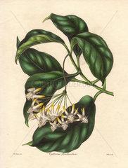 Cyrtoceras floribundum 178 Many-flowered cyrtoceras
