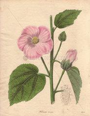 Hibiscus roseus Pink hibiscus