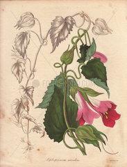 Lophospermum scandens Climbing lophospermum with pink and purplish flowers