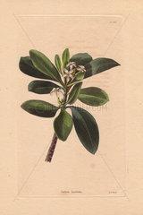 Cerbera laurifolia