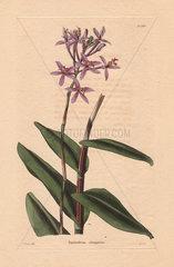 Epidendrum elongatum Pink epidendrum