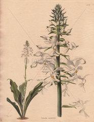 Calanthe veratrifolia Calanthe orchid