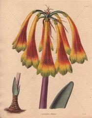 Cyrthanthus obliquus Knysna lily